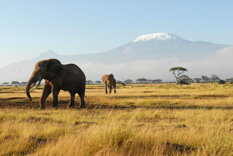 African Elephants and Mount Kilimanjaro - Amboseli National Park, Kenya