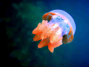 Jellyfish. 