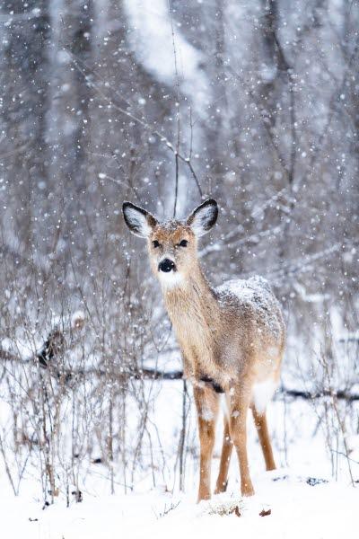Jul, Christmas, snö, snow, hjort, bambi, raindeer, rudolf, rudolph
